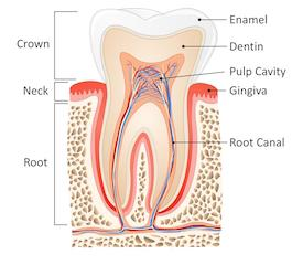 Root Canal Diagram | Brentwood TN